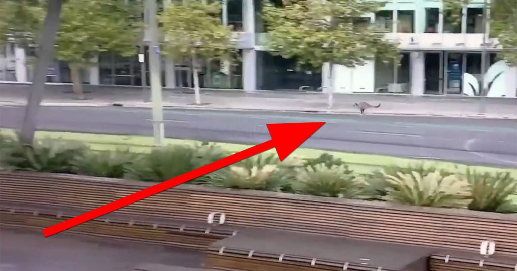 Watch this kangaroo bounce through a deserted Australian city